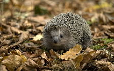 Hedgehogs wide wallpapers and HD wallpapers