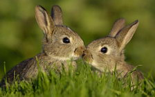 Jackrabbits wide wallpapers and HD wallpapers
