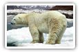 Polar Bears desktop wallpapers