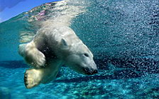 Polar Bears wide wallpapers and HD wallpapers
