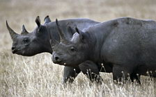 Rhinoceroses wide wallpapers and HD wallpapers