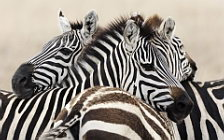 Zebras wide wallpapers and HD wallpapers