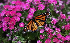 Butterfly wide wallpapers and HD wallpapers